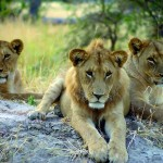 Copyright Nomad Adventures, young lions, Namibia