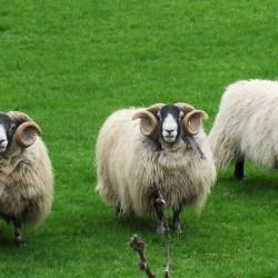 Knockowen sheep