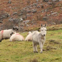 Knockowen donkey