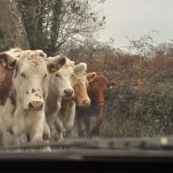 Beara cows