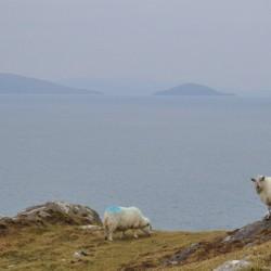Sheep at Dursey Head