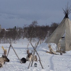 Reindeer and traditional luvvu tent