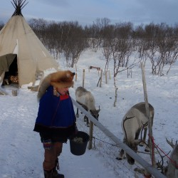 Sami leader Josef feeding reindeer