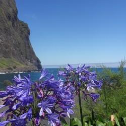 Madeira coastline, wild agapanthus - São Vicente