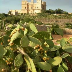 Maltese Baytar02