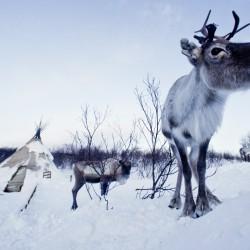 Reindeer Kirkenes