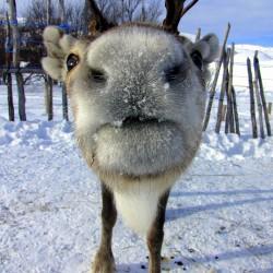 Reindeer, Kirkenes courtesy Hurtigruten