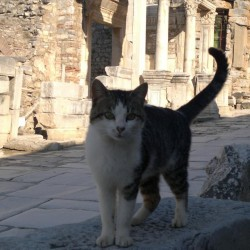 Ephesus cat, Turkey
