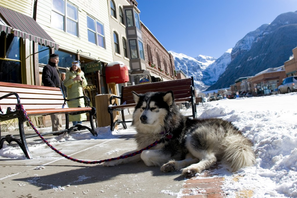 A malamute waits patiently for its owner in downtown Telluride
