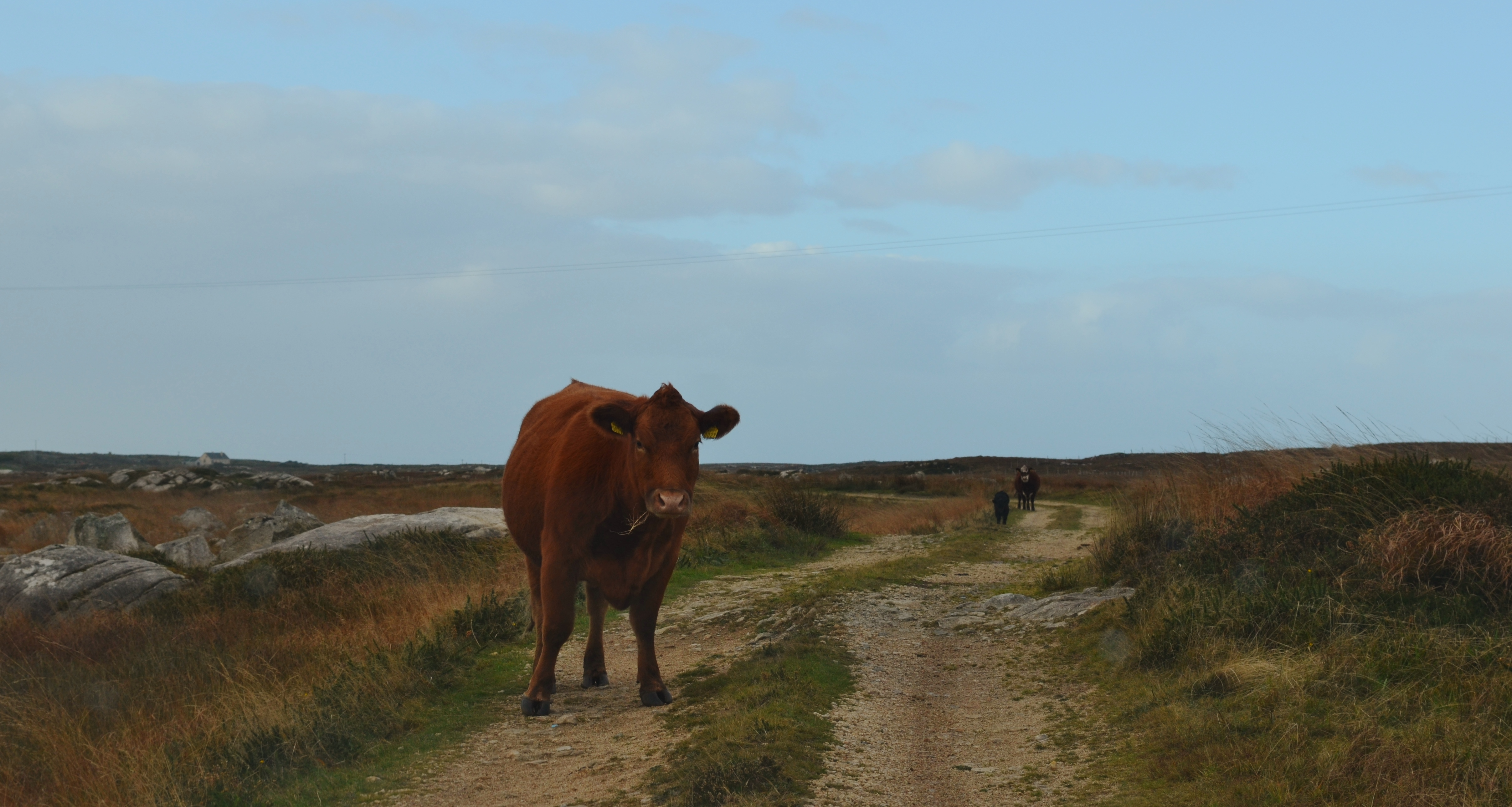 Cattle grazing along a bog road near Carna